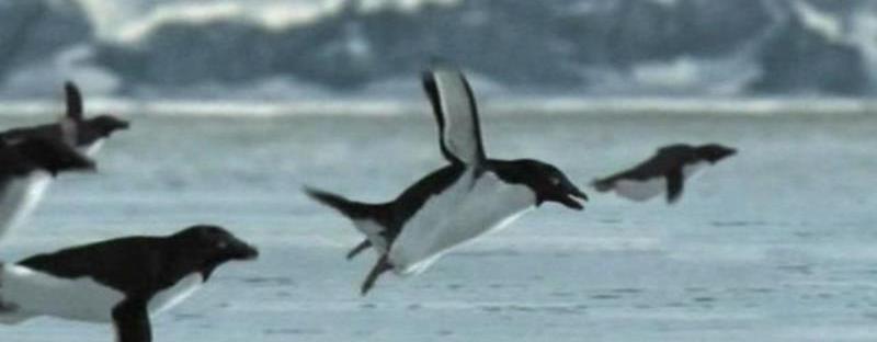 flying-penguins